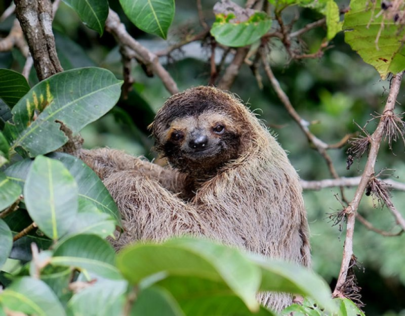 A baby sloth in a tree in Panama