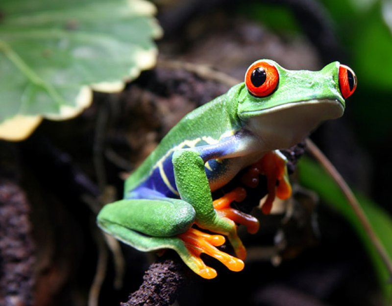 A Red-Eyed Tree Frog (Agalychnis callidryas) sitting on a vine with green plants in the background