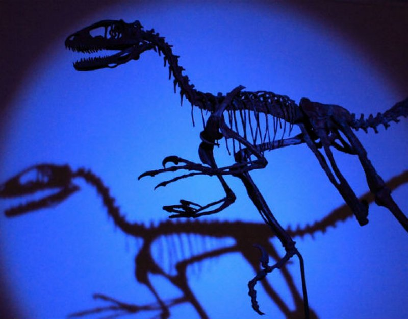 Sedgwick Museum raptor skeleton