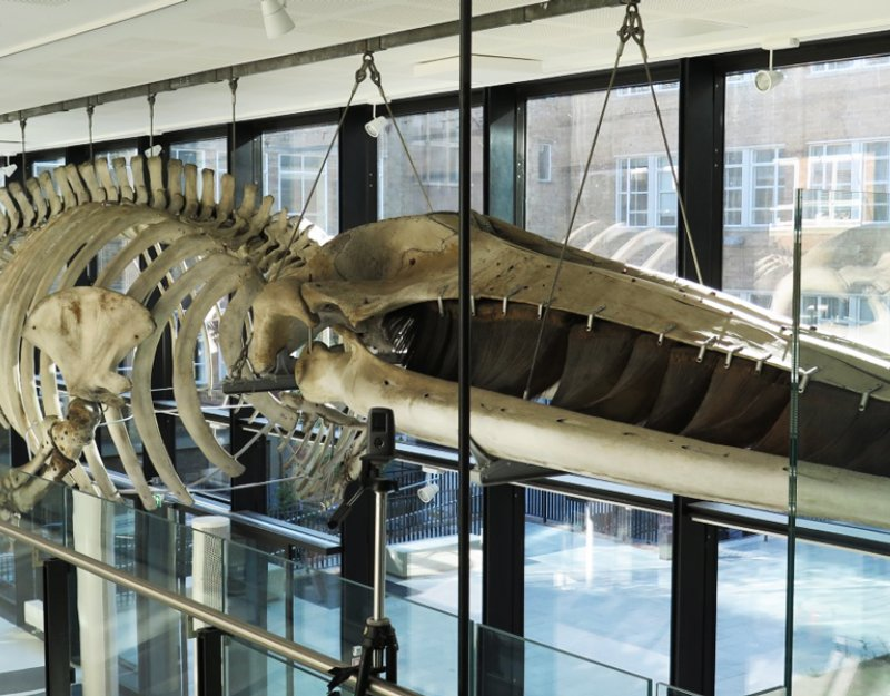 The Finback whale skeleton, shown in the University of Cambridge's Museum of Zoology